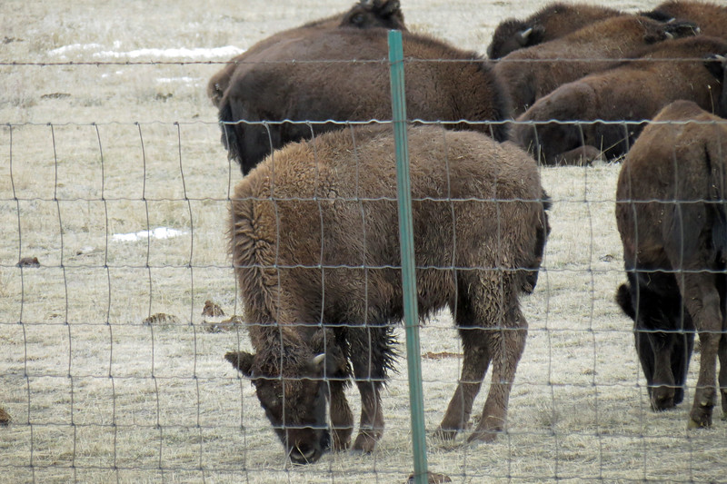 The Durham Bison Ranch is one of the largest in the US and offers tours in the summer months.  That would be awesome !