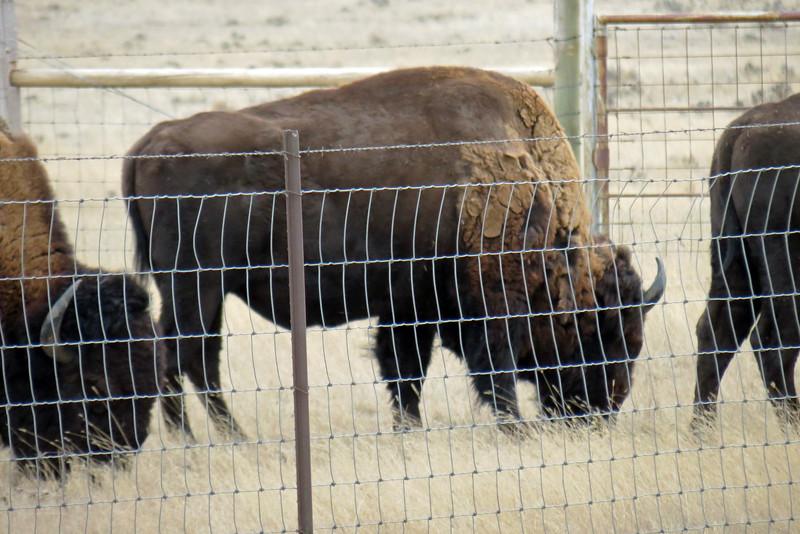 Durham Bison Ranch, Wright, Wyoming.