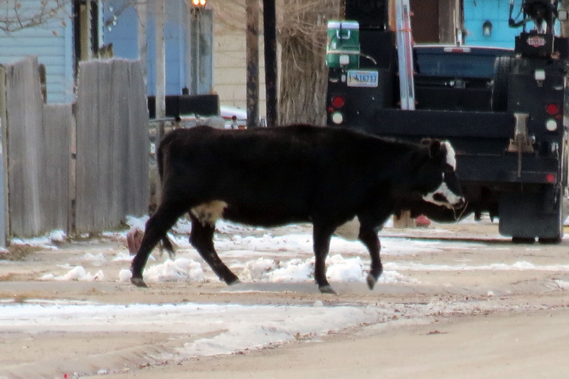 """Heather tells me that this is a common practice.  Ranchers often need to move cattle from one section of pasture to another.  And on some occasions, the most efficient way to do this is to """"drive"""" them through town."""