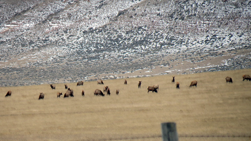 Across the road from the bison calves was a herd of elk.
