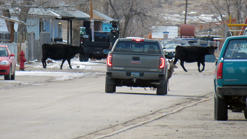 The deer appeared to act as crossing guards alerting the traffic to the passing herd of cattle.