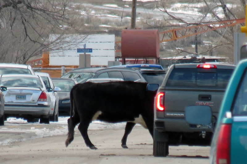 The deer made the traffic stop as the cattle crossed the street.
