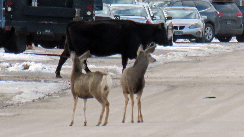 This cattle drive also featured a couple of deer.