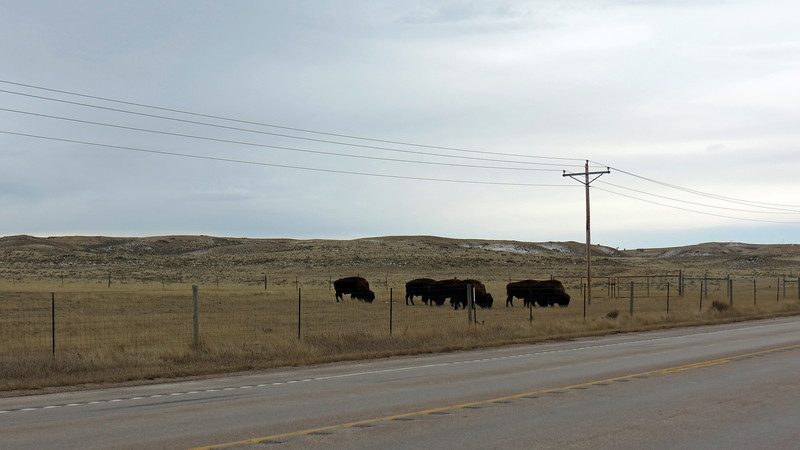 We continued south on Route 59 and spotted more bison, this time on the opposite side of the road as the calves.