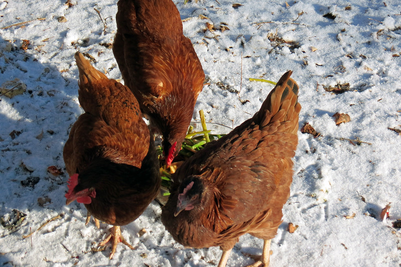 The chickens continued to enjoy their breakfast.