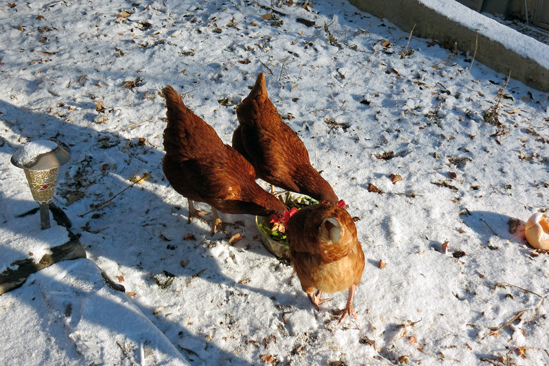 The chickens make a great garbage disposal.