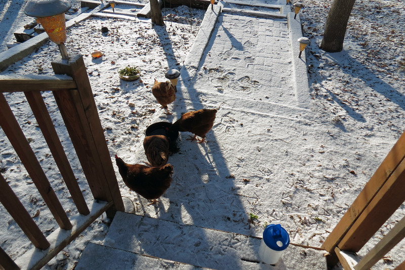 It was time to feed the chickens and change their water bowl.