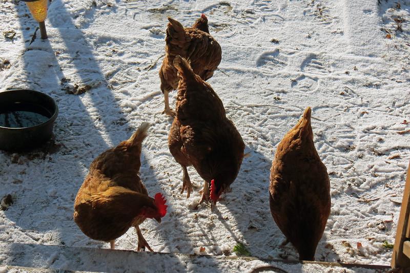 Heather's chickens being chickens.