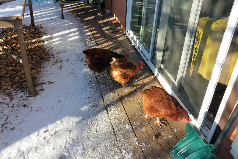 Soon the chickens were on the deck.