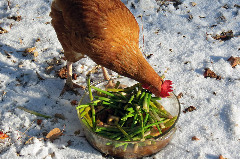 Whatever Heather has left over from the previous evening's dinner goes into a bowl for the chicken's breakfast.