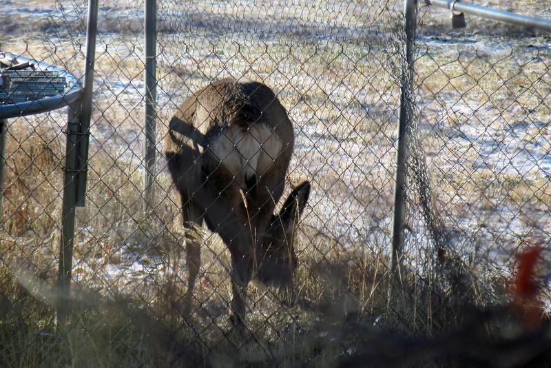 Deer in the neighbor's yard.