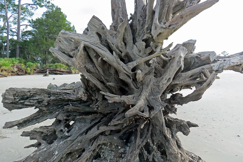 The tide and strong ocean currents pick up the dead trees and deposit them elsewhere.  A lot of the trees seem to stay close by.  Others can travel long distances, (like the tree at the Days Inn where I'm staying).