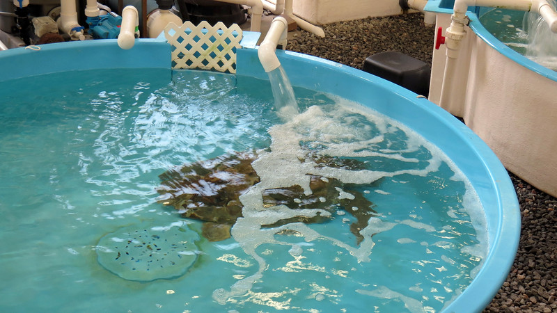 """The next tank was occupied by """"Goose,"""" a Loggerhead Sea Turtle."""