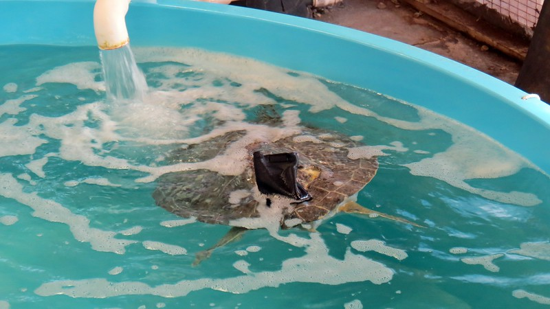 Some tanks were quite large.  Depending on the specific species, sea turtles can reach several feet in length and weigh more than 500 pounds.  First inside the door was Tethys, a Green Sea Turtle who arrived at the hospital after being stranded and floating abnormally.