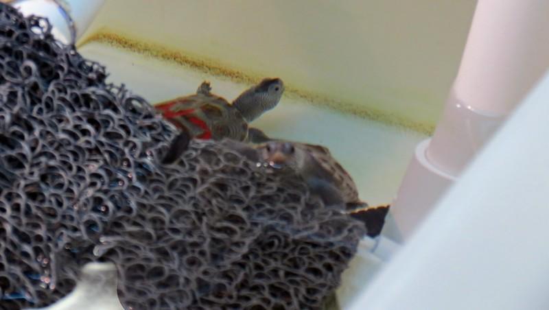 Sea Turtle hatchlings.
