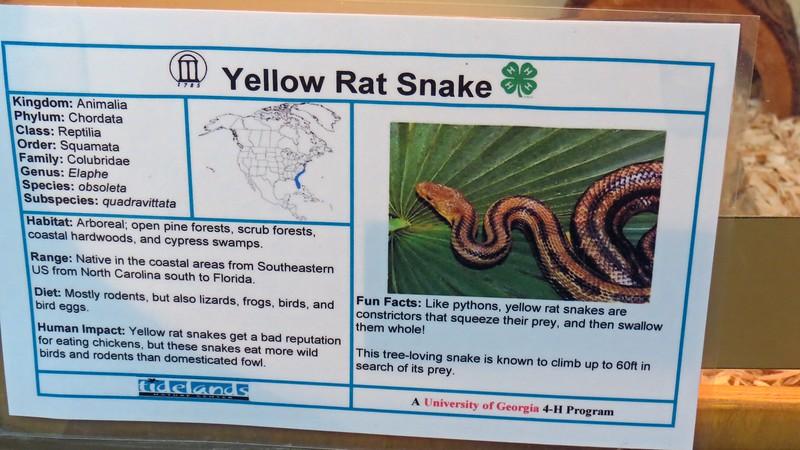 Yellow Rat Snake.