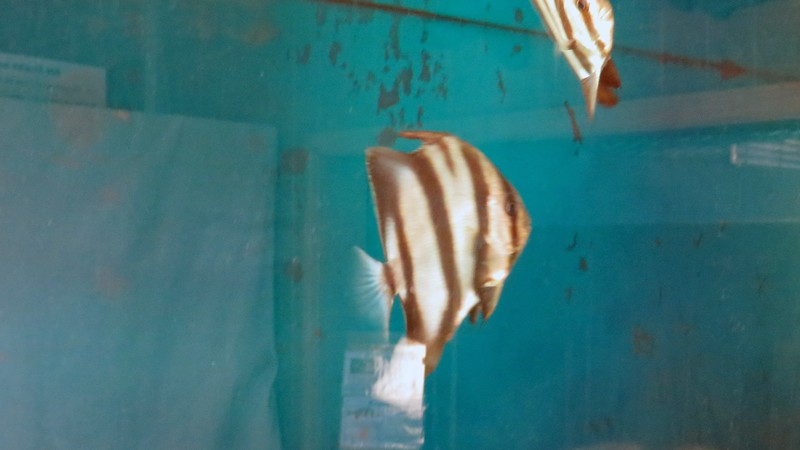 This tank contained Atlantic Spadefish.