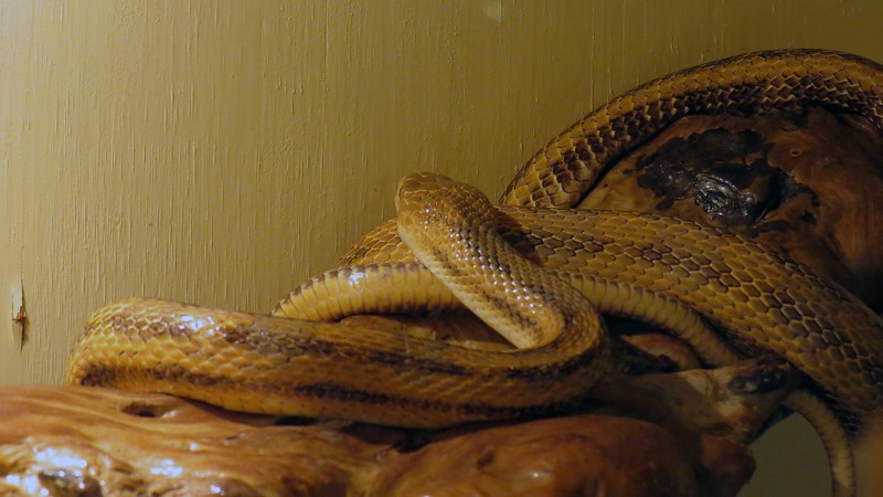 As did the Yellow Rat Snake picture.