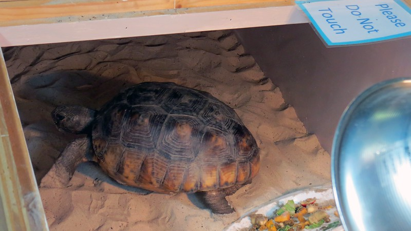 This is Sandy, a Gopher Tortoise, (Georgia's State Reptile).