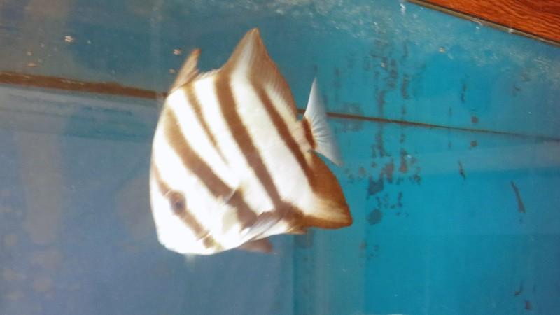 Atlantic Spadefish.