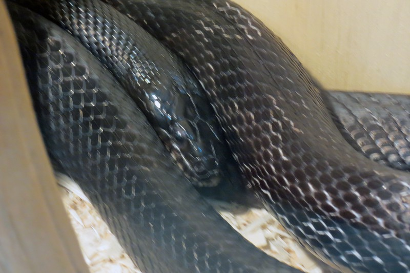 Also featured were several varieties of Danger Noodles.  For some reason, the picture I took of this Black Rat Snake on this day was blurry.  But you get the idea.