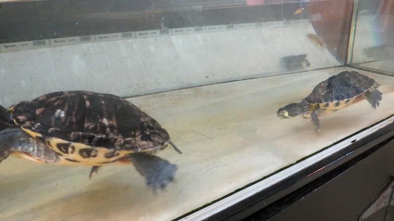 A couple of Diamondback Terrapin Sea Turtles.