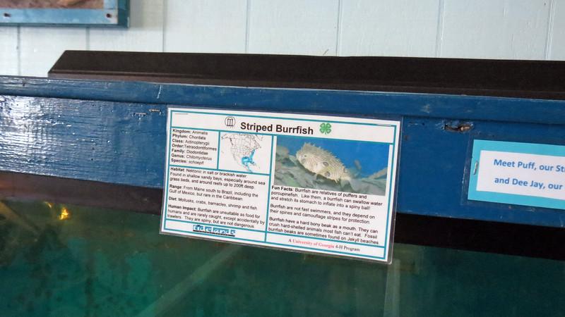 Striped Burrfish.