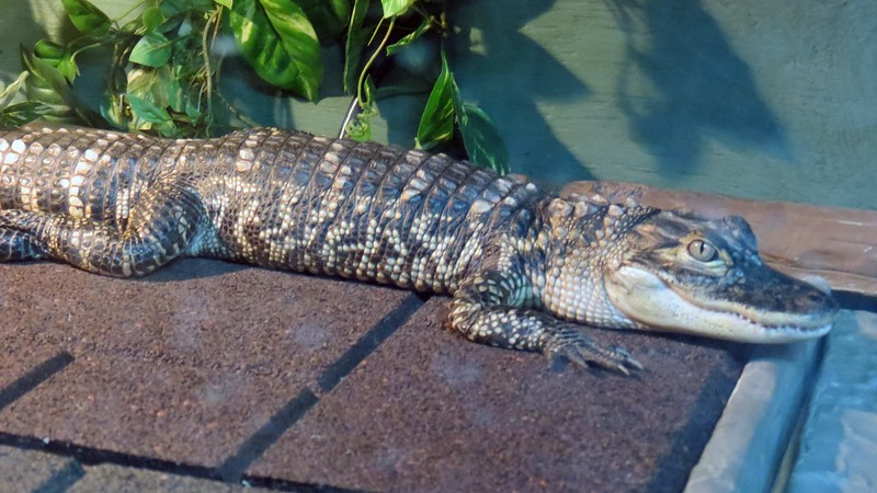 These guys look quite friendly.  American Alligators can reach 15 feet in length and weigh half-a-ton.