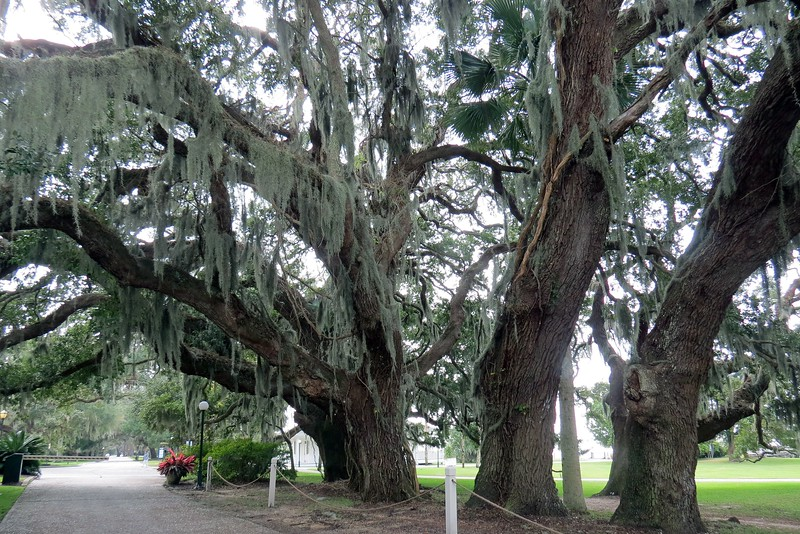 I passed by one of the many majestic Southern Live Oak trees that populate the island on my way to Crane Cottage.