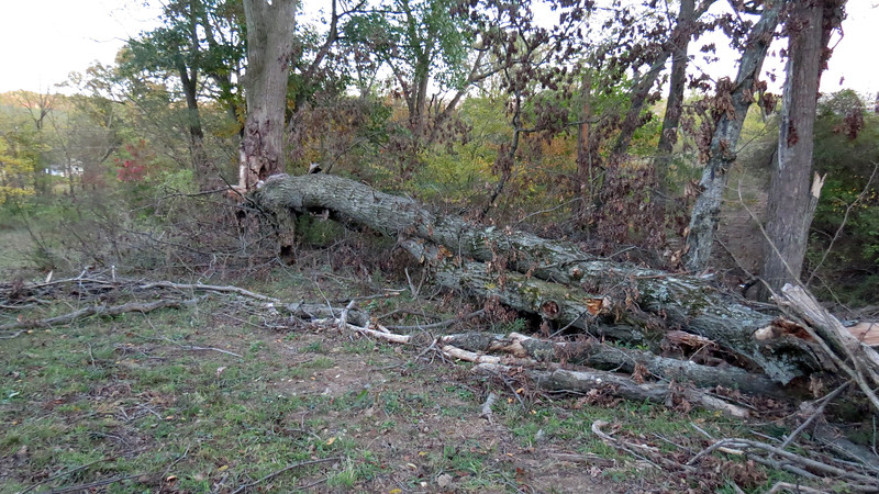 Part of an old oak tree came down during a recent storm.