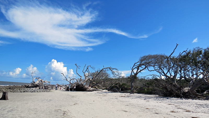 Driftwood Beach is a famous stretch of the Jekyll Island coastline that features a picturesque display of dead trees.