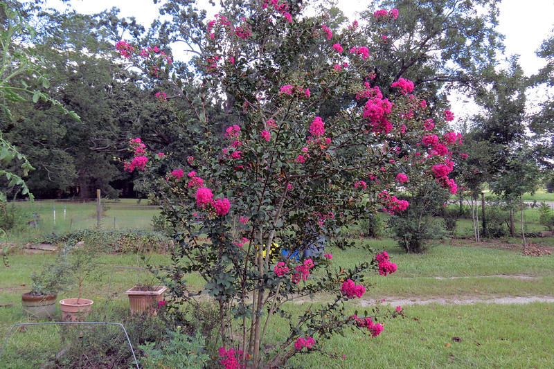 The current owner planted several Crape Myrtles around the property a few years ago.