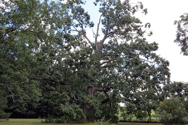 This was one of several giant oak trees on the property.