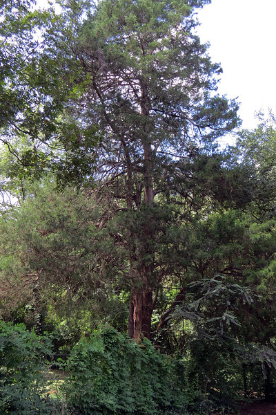This is another of the many giant trees on the property, in this case a large Cedar tree.