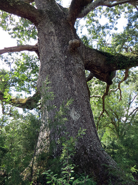 The trunk of this oak tree was probably 4 feet in diameter.