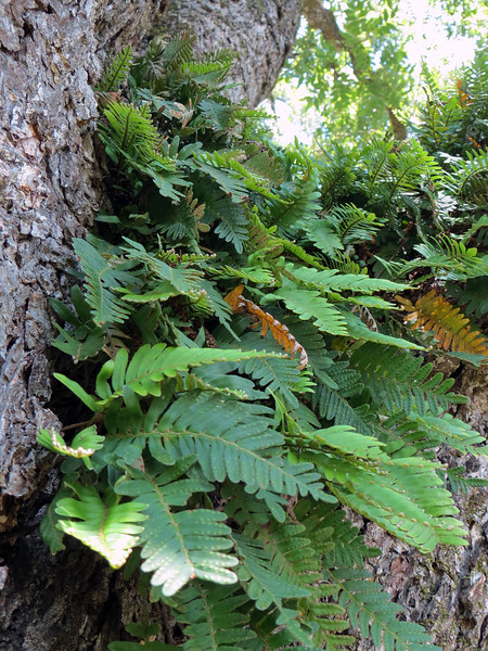 Resurrection Fern is an epiphyte, meaning it uses the host tree only for support, (i.e. it doesn't take any nutrients away from the tree).