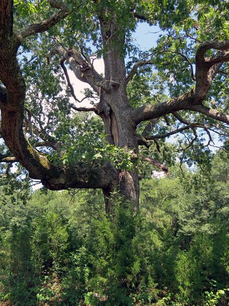 A massive old oak tree.