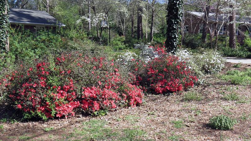 More azaleas.