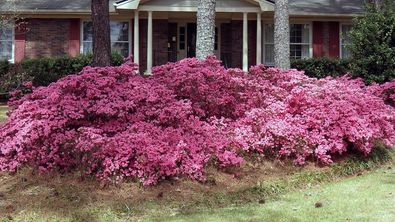 Huge line of pink azaleas.