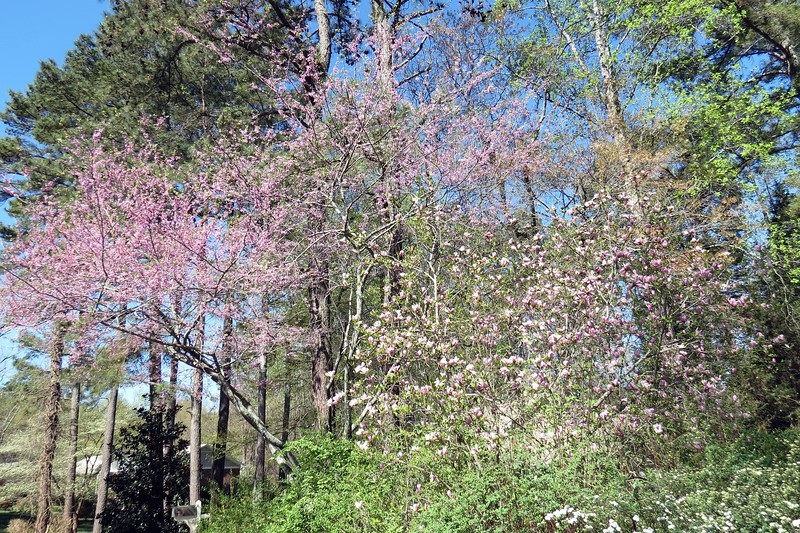 March 21:  More blooms are appearing.  The pink blooms on the left side of the photo above are of a redbud tree.  The pink and white blooms on the right side are of some kind of magnolia.