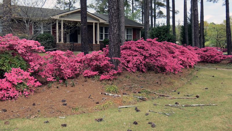 A huge line of pink azaleas.