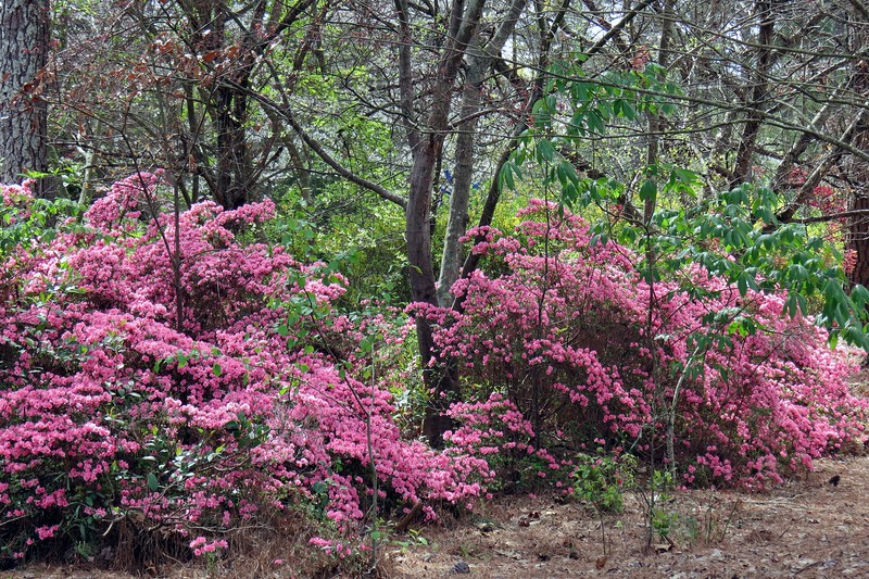 Several azaleas with a small Buckeye tree in the foreground of the right side of the photo above.