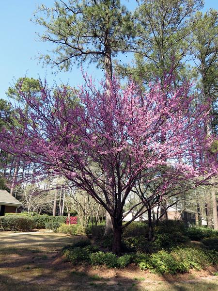 A redbud tree.