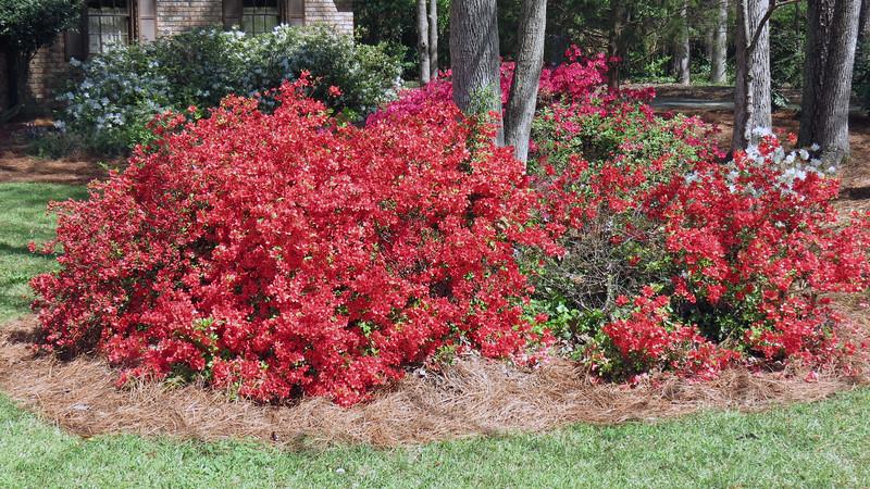 Large group of azaleas.