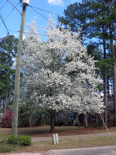 White-flowering trees are common in my neighborhood.  I don't know what this beautiful tree is.  But my guess is that it's some variety of pear/cherry/apple.