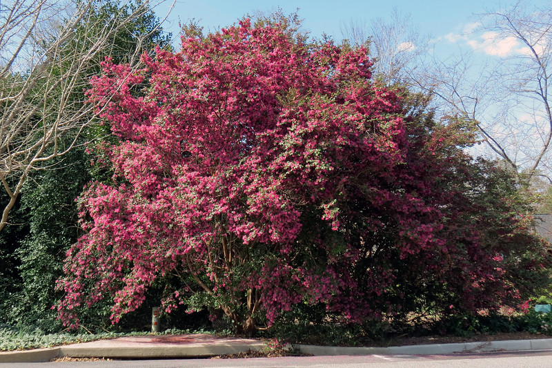 A nearby giant loropetalum.