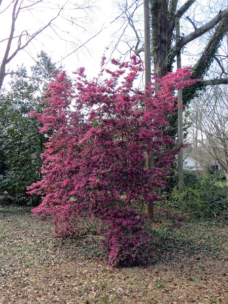 I think this is another loropetalum.