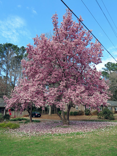 This is one of the centerpieces of the neighborhood.  I believe this is some kind of magnolia tree.