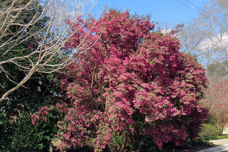 This loropetalum looked to be 15 feet tall.