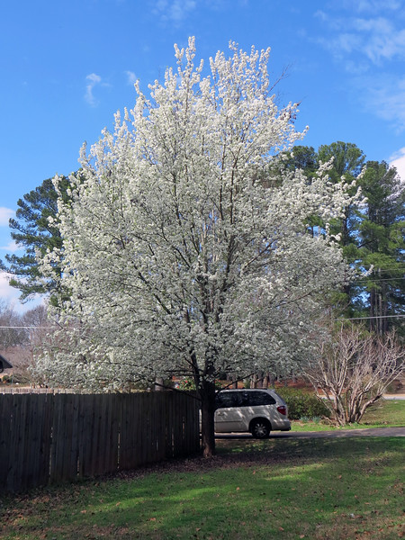 Another beautiful white flowering tree.